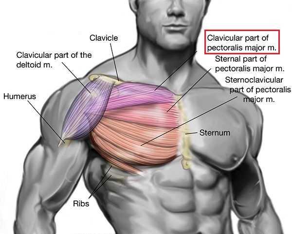 chest anatomy1
