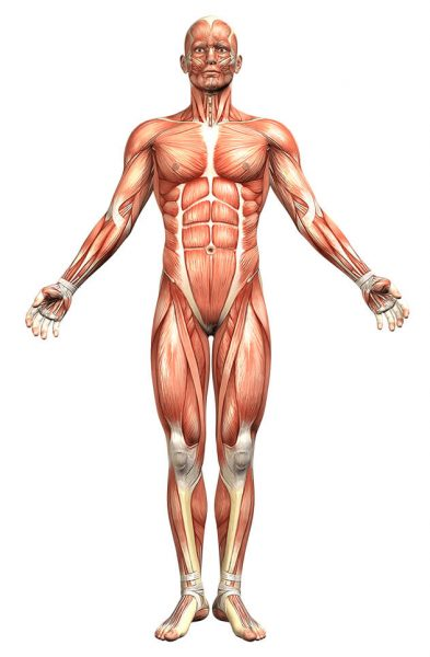 muscular anatomy sketch