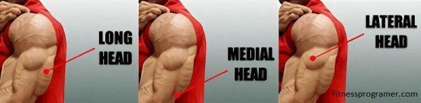 triceps anatomy